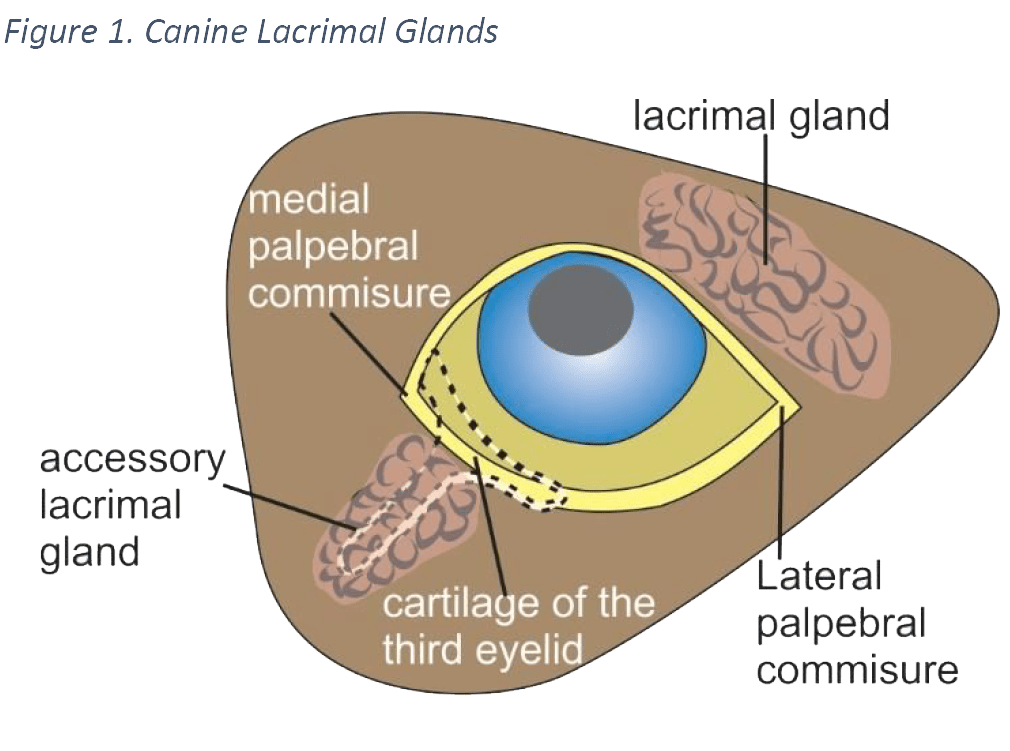 canine-lacrimal